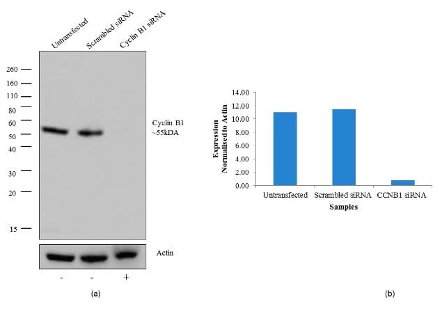 Cyclin B1 Antibody in Western Blot (WB)