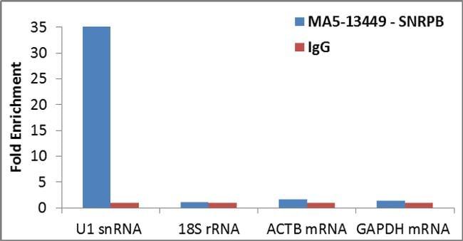 SNRPB Antibody in RNA Immunoprecipitation (RIP)