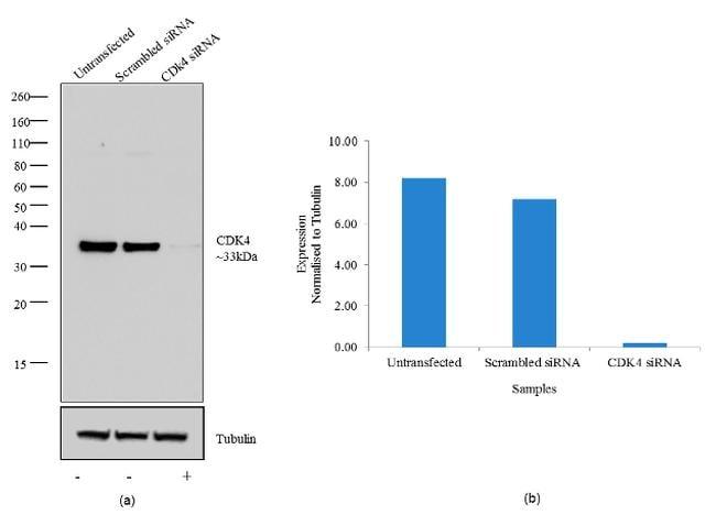 CDK4 Antibody in Knockdown