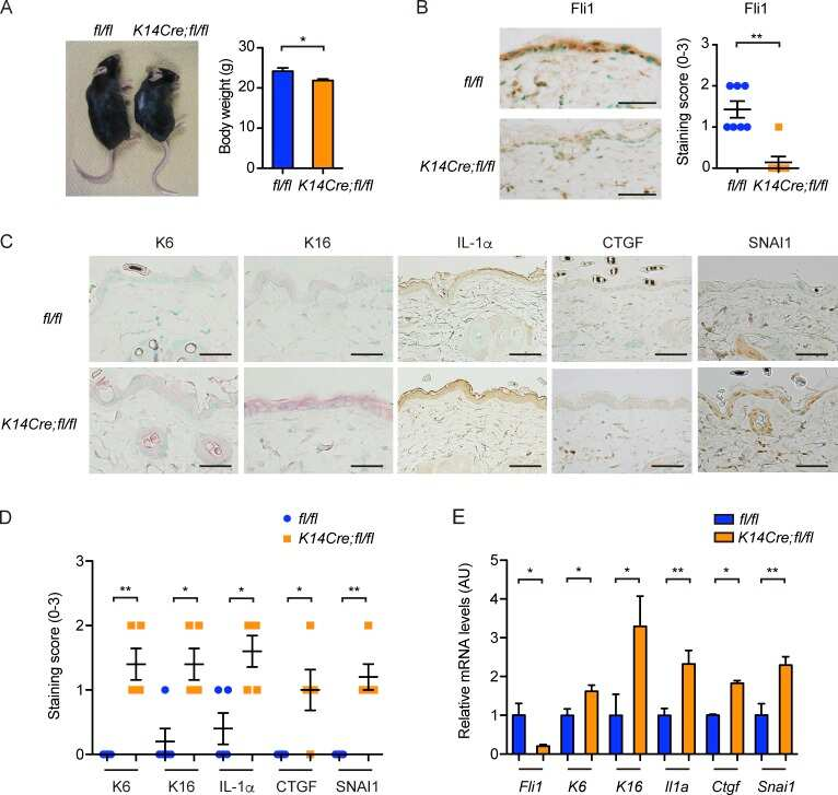 Cytokeratin 16 Antibody