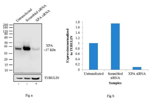 XPA Antibody in Western Blot (WB)