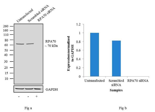 RPA70 Antibody in KnockDown