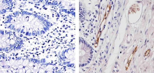 VWF Antibody in Immunohistochemistry (Paraffin) (IHC (P))
