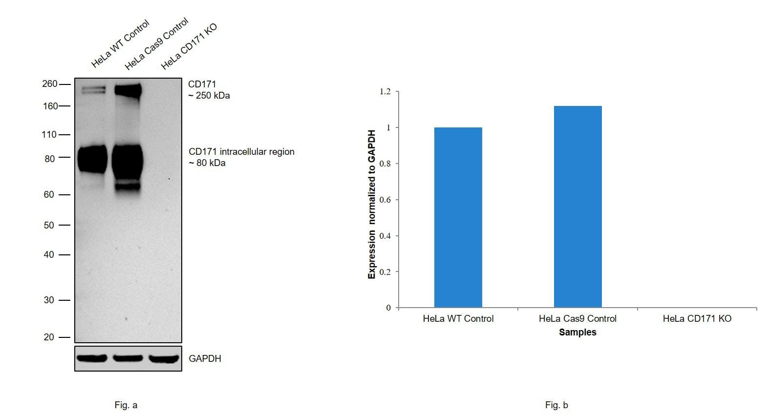 CD171 Antibody in Western Blot (WB)