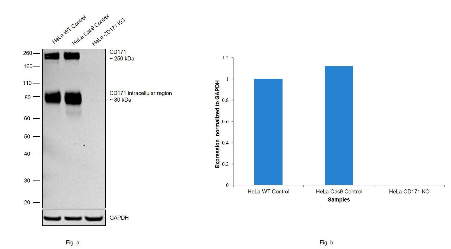 CD171 Antibody in Knockout