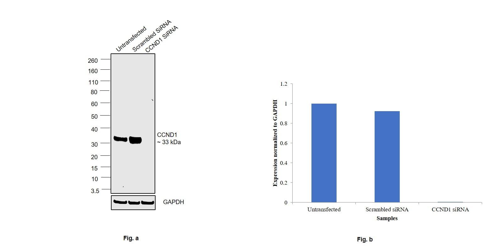 Cyclin D1 Antibody in Knockdown