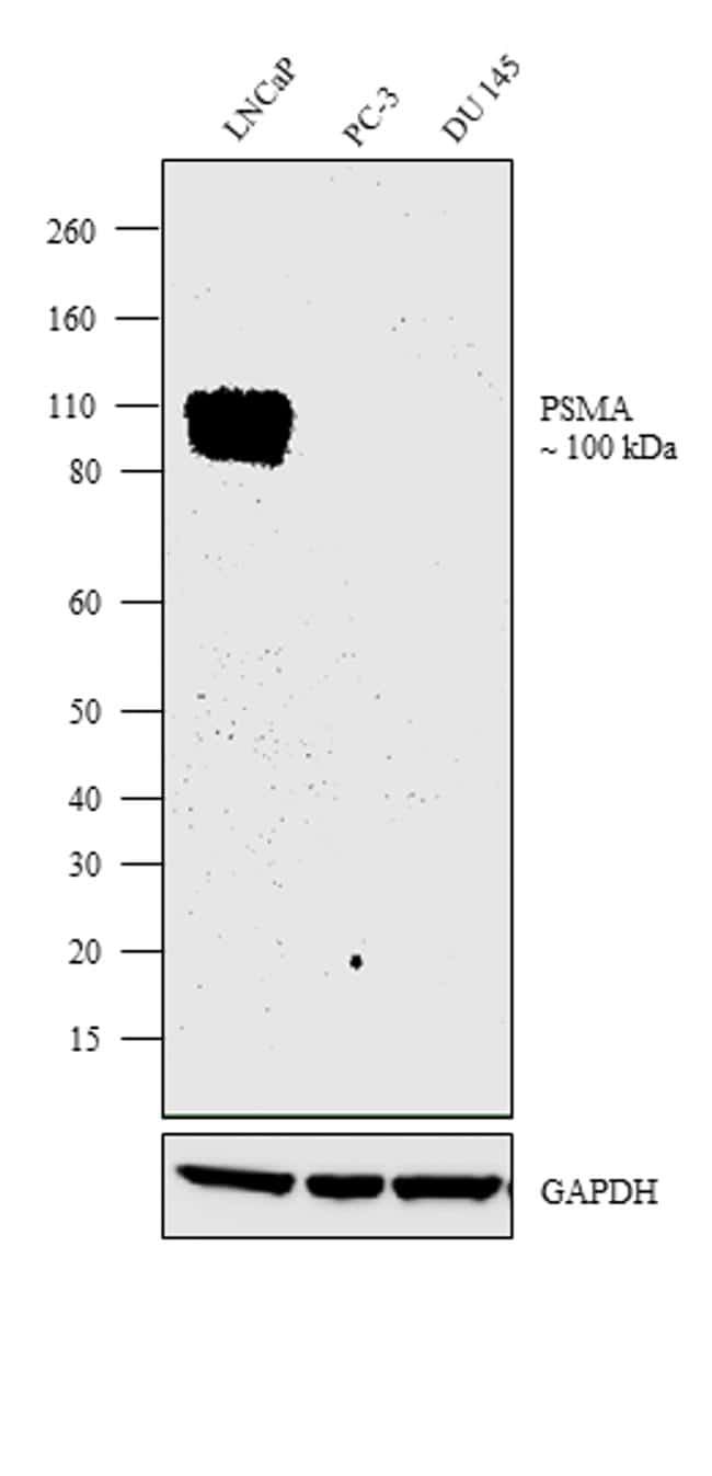 PSMA Antibody in Relative expression