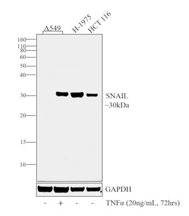 SNAIL Antibody in Western Blot (WB)