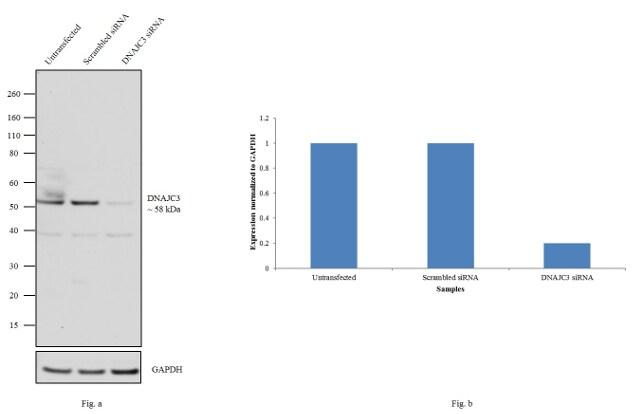 DNAJC3 Antibody in Western Blot (WB)