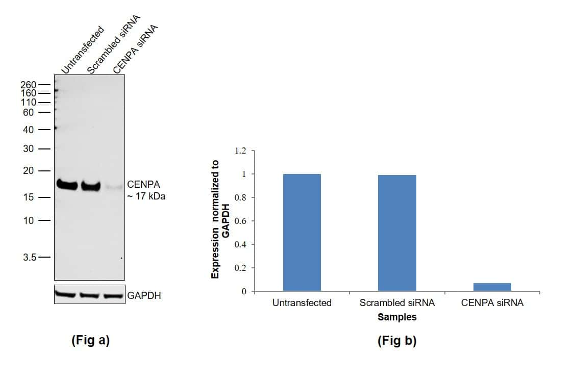 CENPA Antibody in Western Blot (WB)