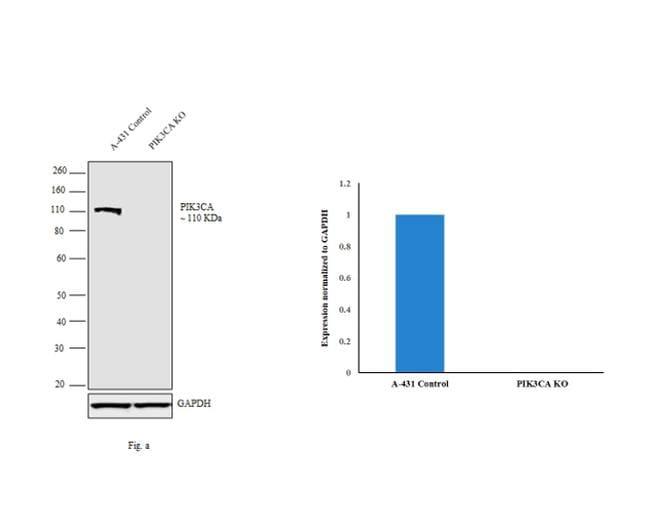 PIK3CA Antibody in Knockout
