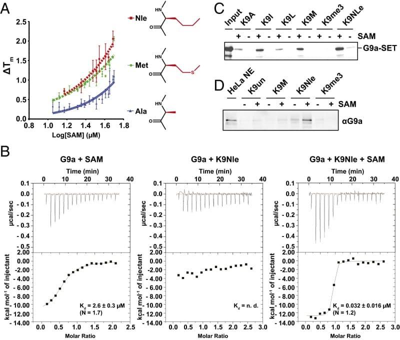 EHMT2 Antibody