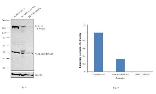 EHMT2 Antibody in Knockdown