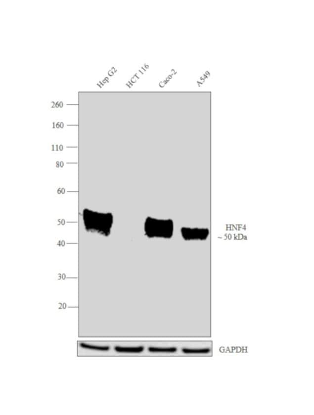 HNF4A Antibody in Western Blot (WB)
