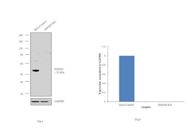 SMAD3 Antibody in Knockout