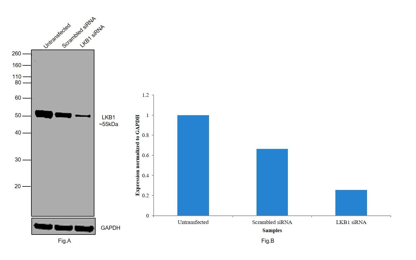 LKB1 Antibody in Western Blot (WB)