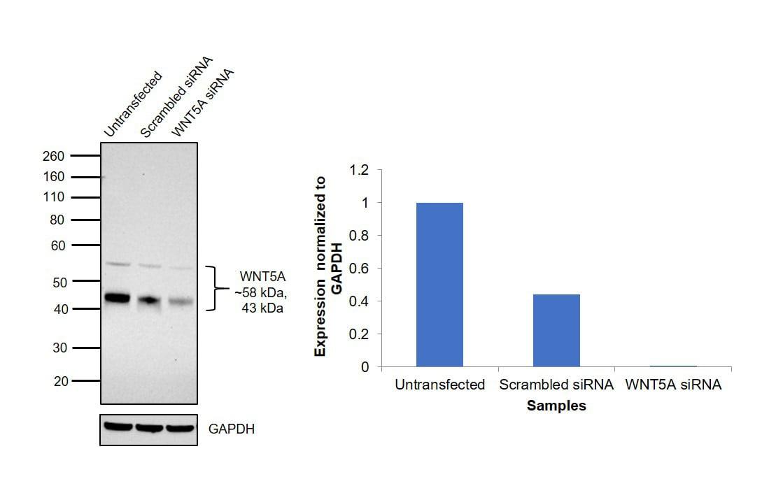 WNT5A Antibody in Western Blot (WB)