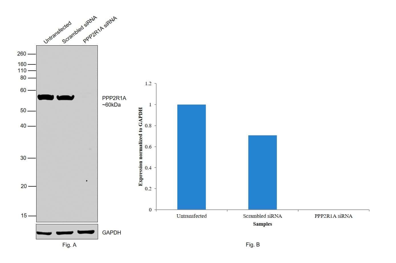 PPP2R1A Antibody in Knockdown