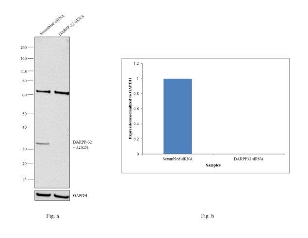 DARPP-32 Antibody in Knockdown