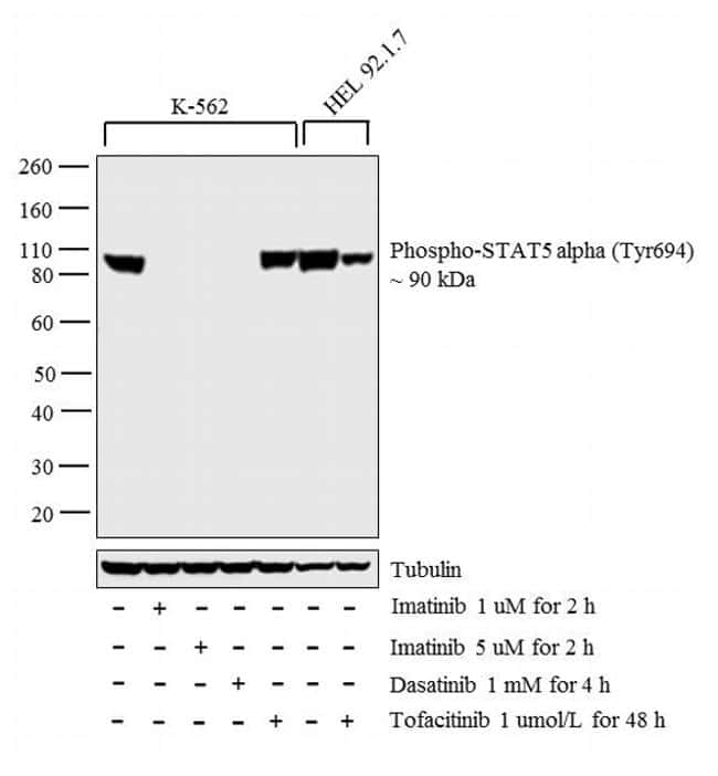Phospho-STAT5 alpha (Tyr694) Antibody in Cell treatment