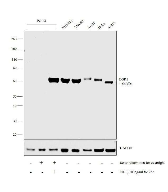 EGR1 Antibody in Western Blot (WB)
