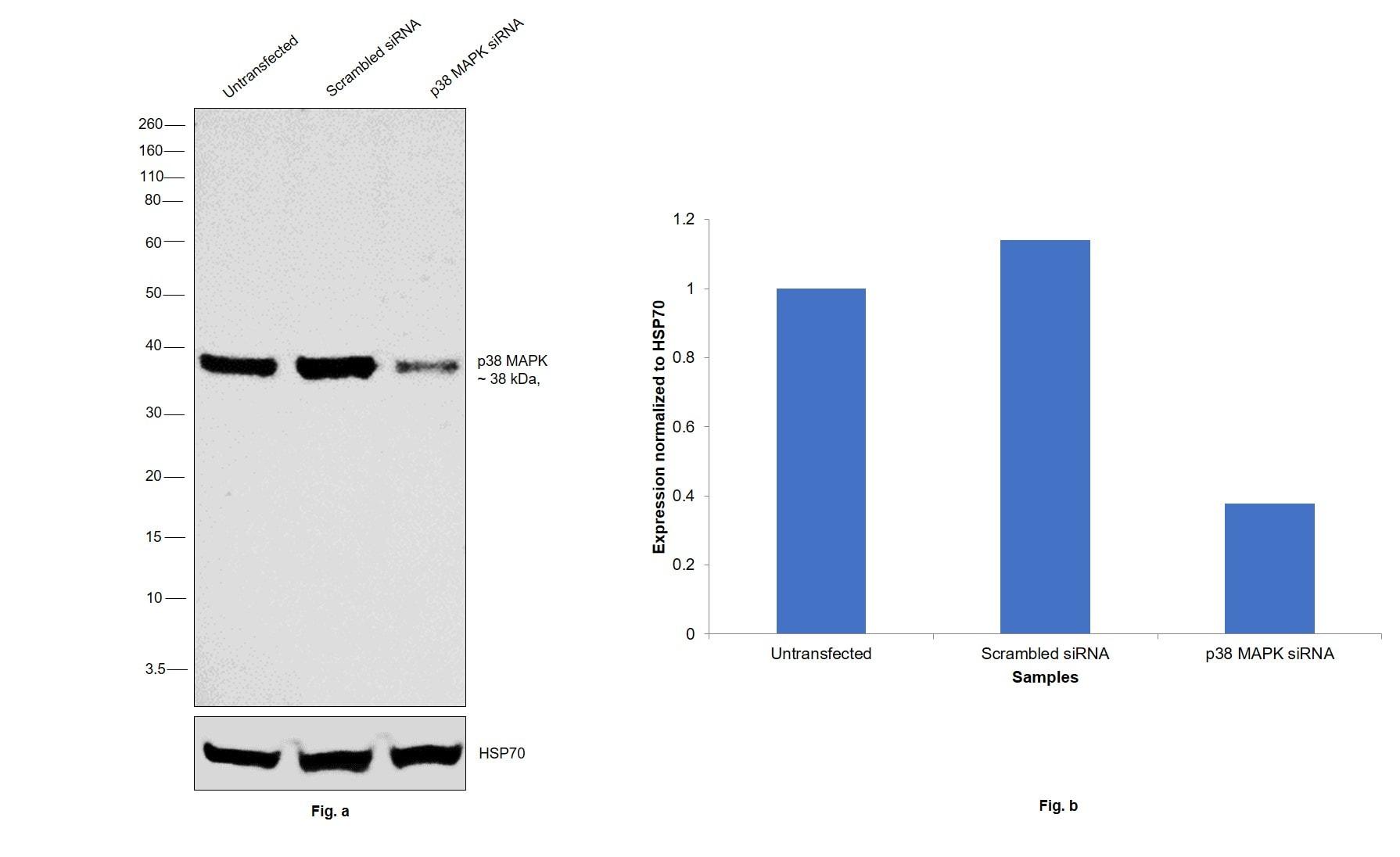 p38 MAPK alpha Antibody in Western Blot (WB)