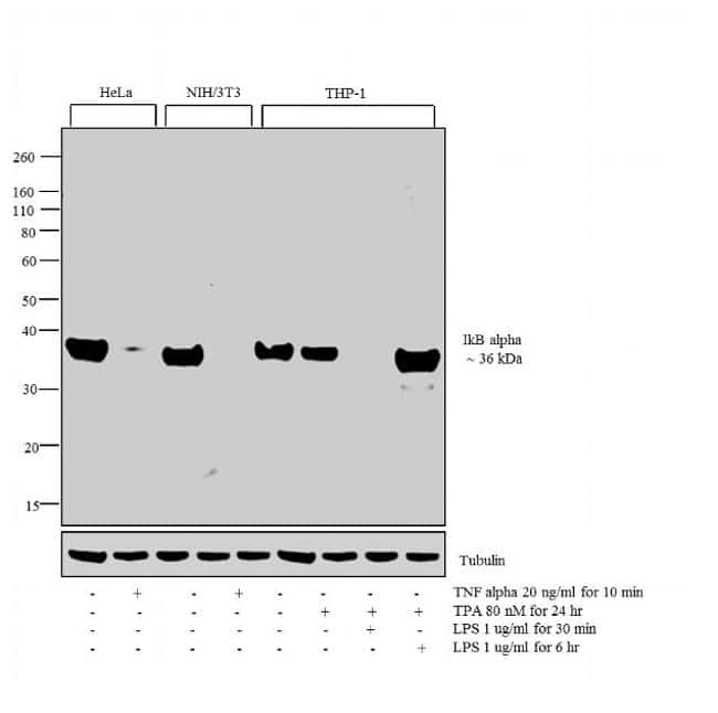 IkB alpha Antibody in Cell Treatment