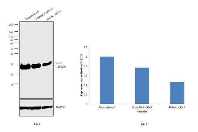 Bcl-xL Antibody in Western Blot (WB)