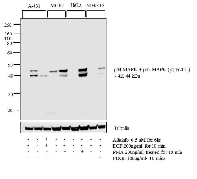 Phospho-ERK1/ERK2 (Tyr204) Antibody in Cell treatment