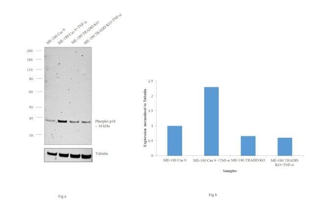 Phospho-p38 MAPK alpha (Thr180, Tyr182) Antibody in Knockout
