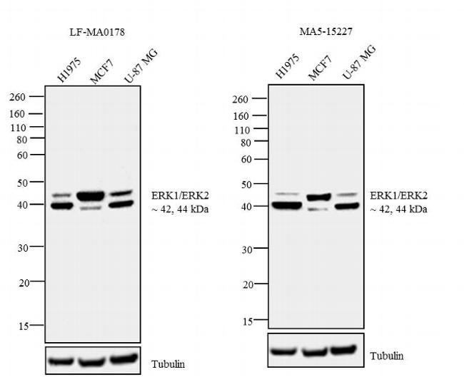 ERK1/ERK2 Antibody in Independent antibody