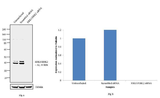 ERK1/ERK2 Antibody in Knockdown