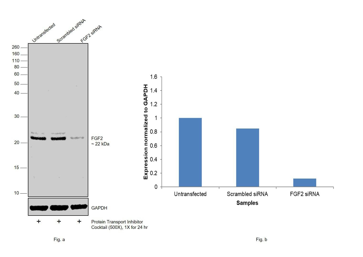 FGF2 Antibody in Western Blot (WB)