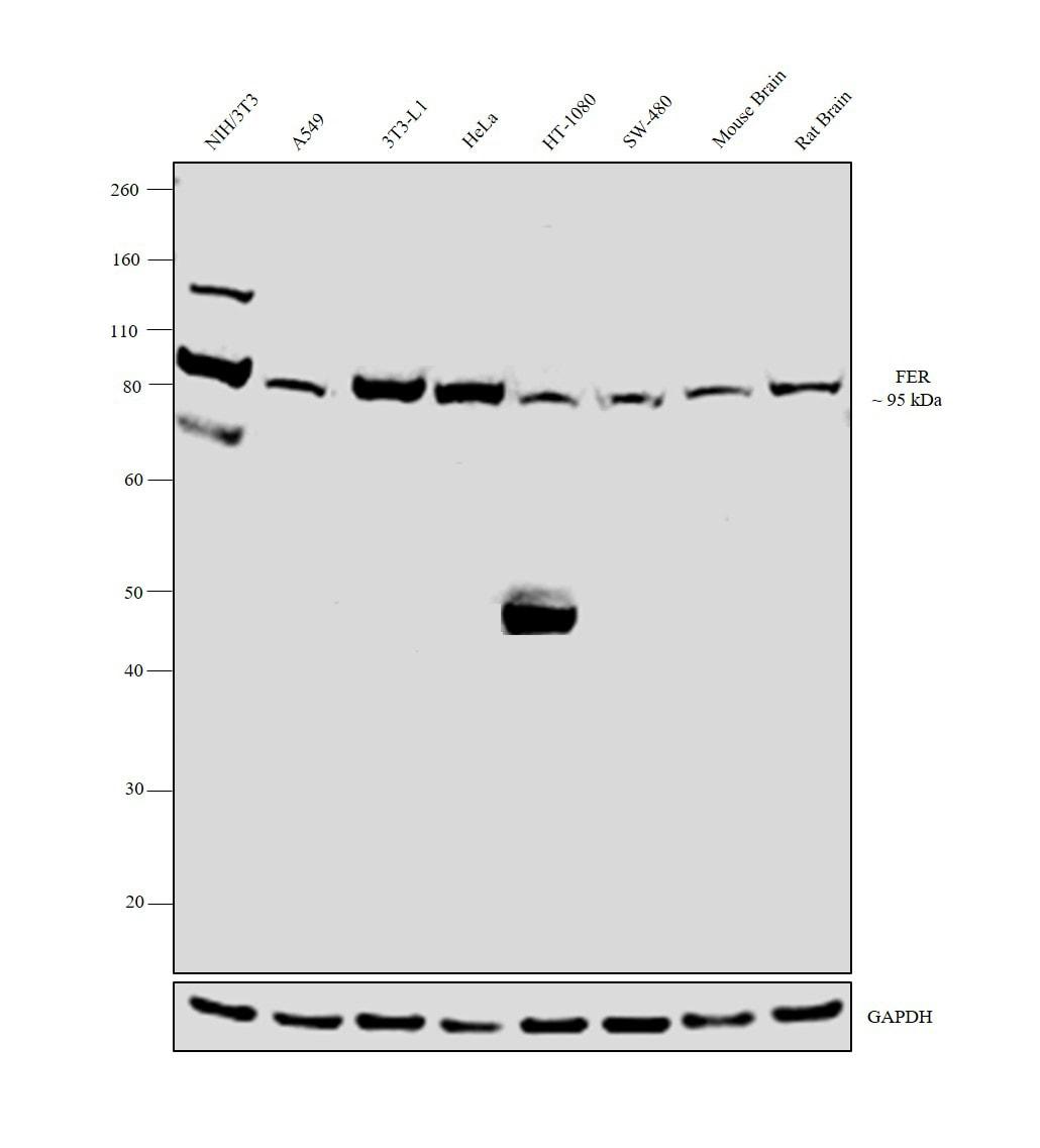 FER Antibody in Western Blot (WB)