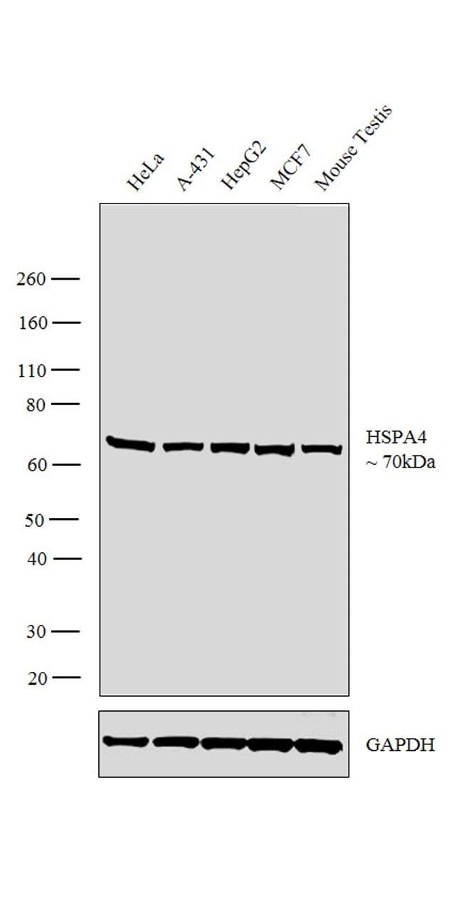 HSPA4 Antibody in Western Blot (WB)