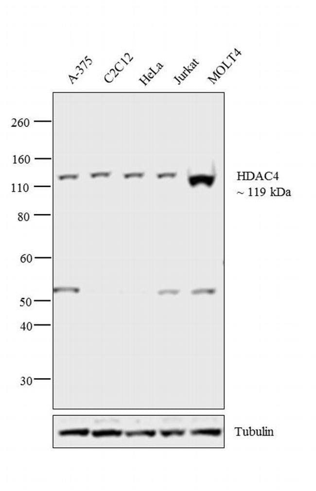 HDAC4 Antibody in Western Blot (WB)
