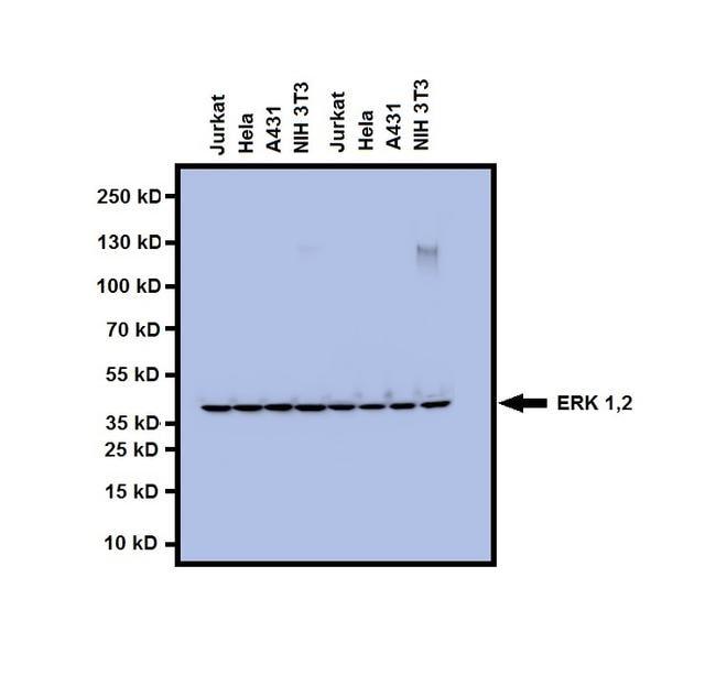 Erk1 Erk2 Antibody Monoclonal 3f8b3