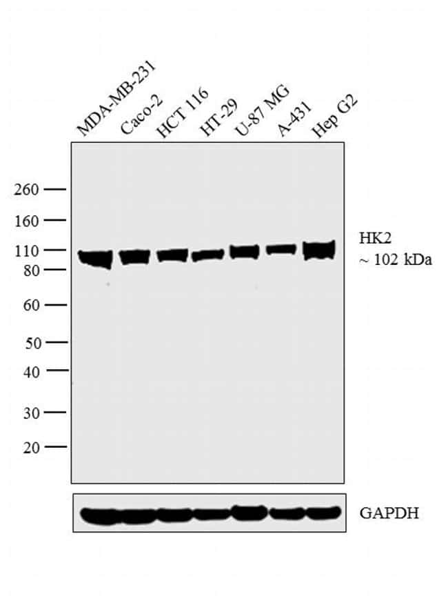 HK2 Antibody in Western Blot (WB)