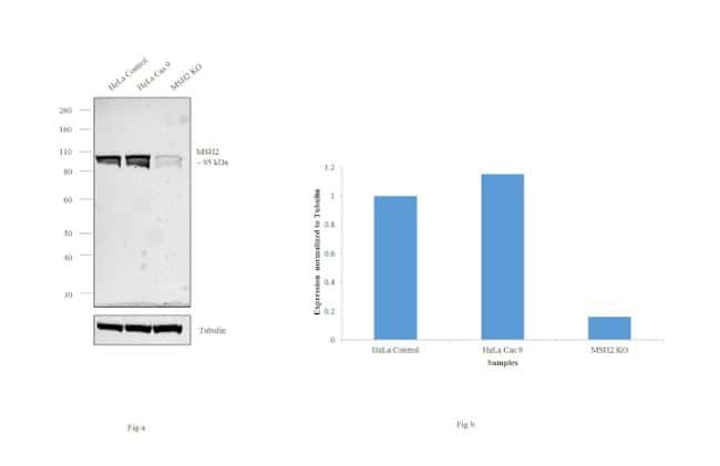 MSH2 Antibody in KnockOut