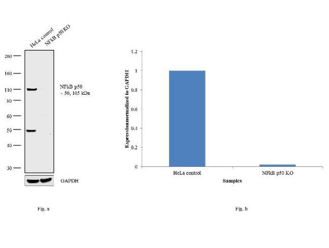 NFkB p50 Antibody in Western Blot (WB)