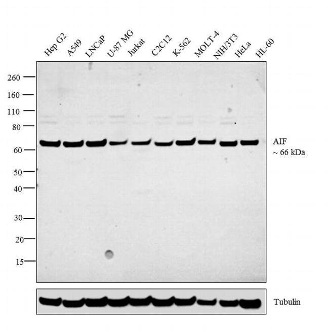 AIF Antibody in Western Blot (WB)