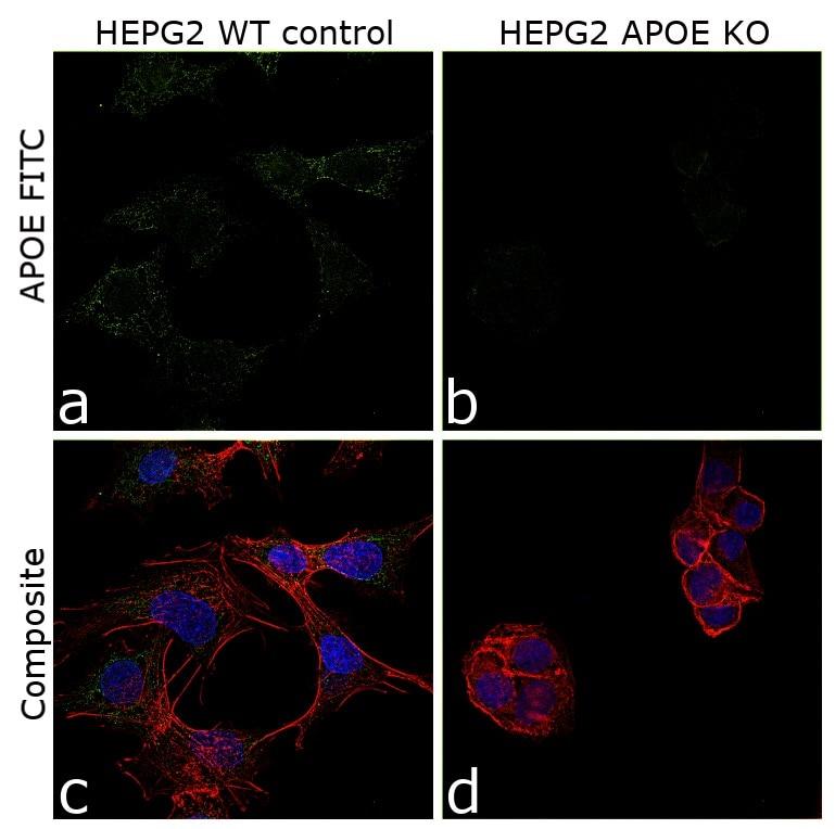 APOE Antibody in Immunocytochemistry (ICC)