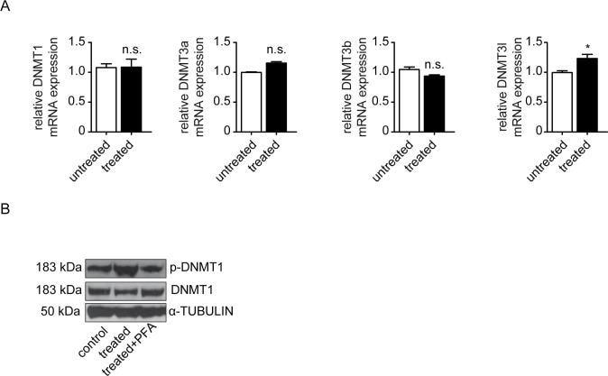 DNMT1 Antibody