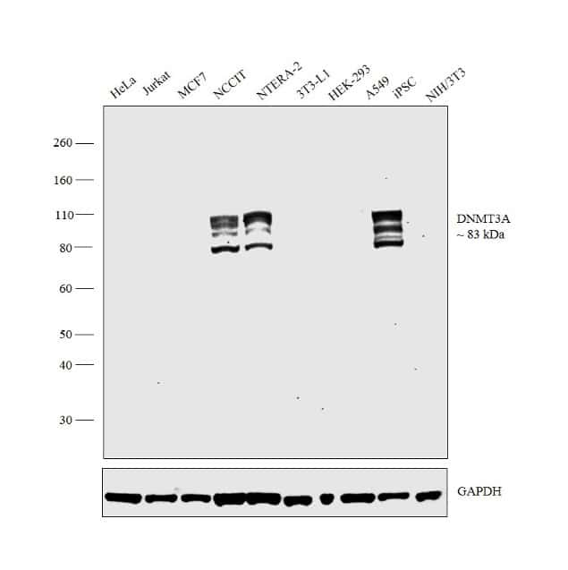 DNMT3A Antibody in Relative expression