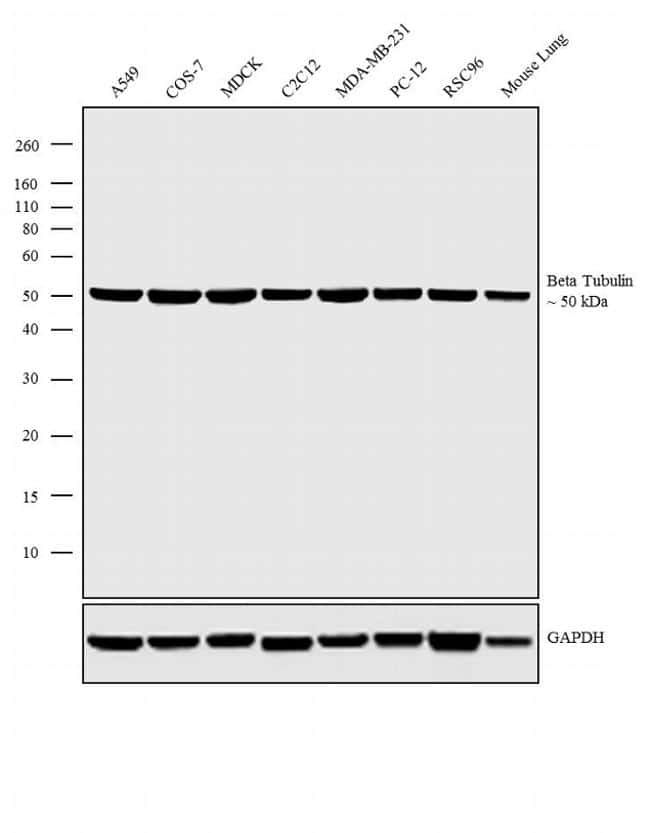 beta Tubulin Loading Control Antibody in Western Blot (WB)