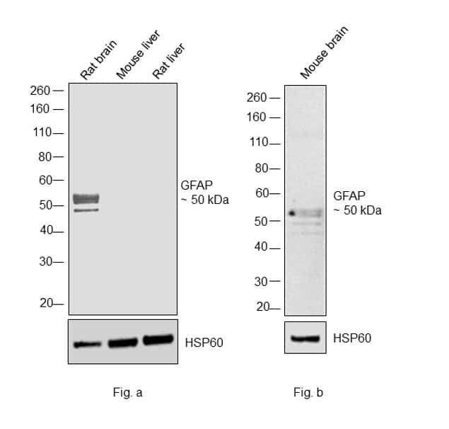 GFAP Antibody in Relative expression