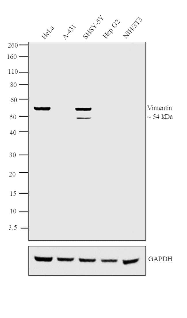 Vimentin Antibody in Relative expression