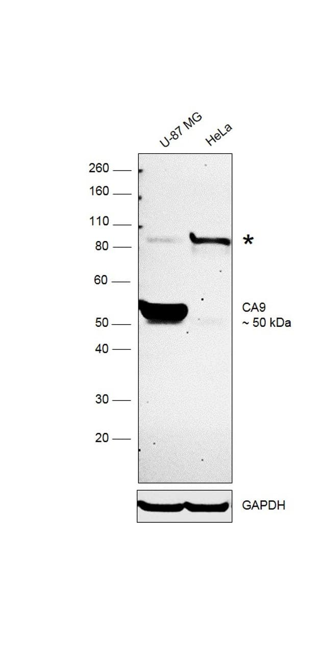 Carbonic Anhydrase IX Antibody in Western Blot (WB)