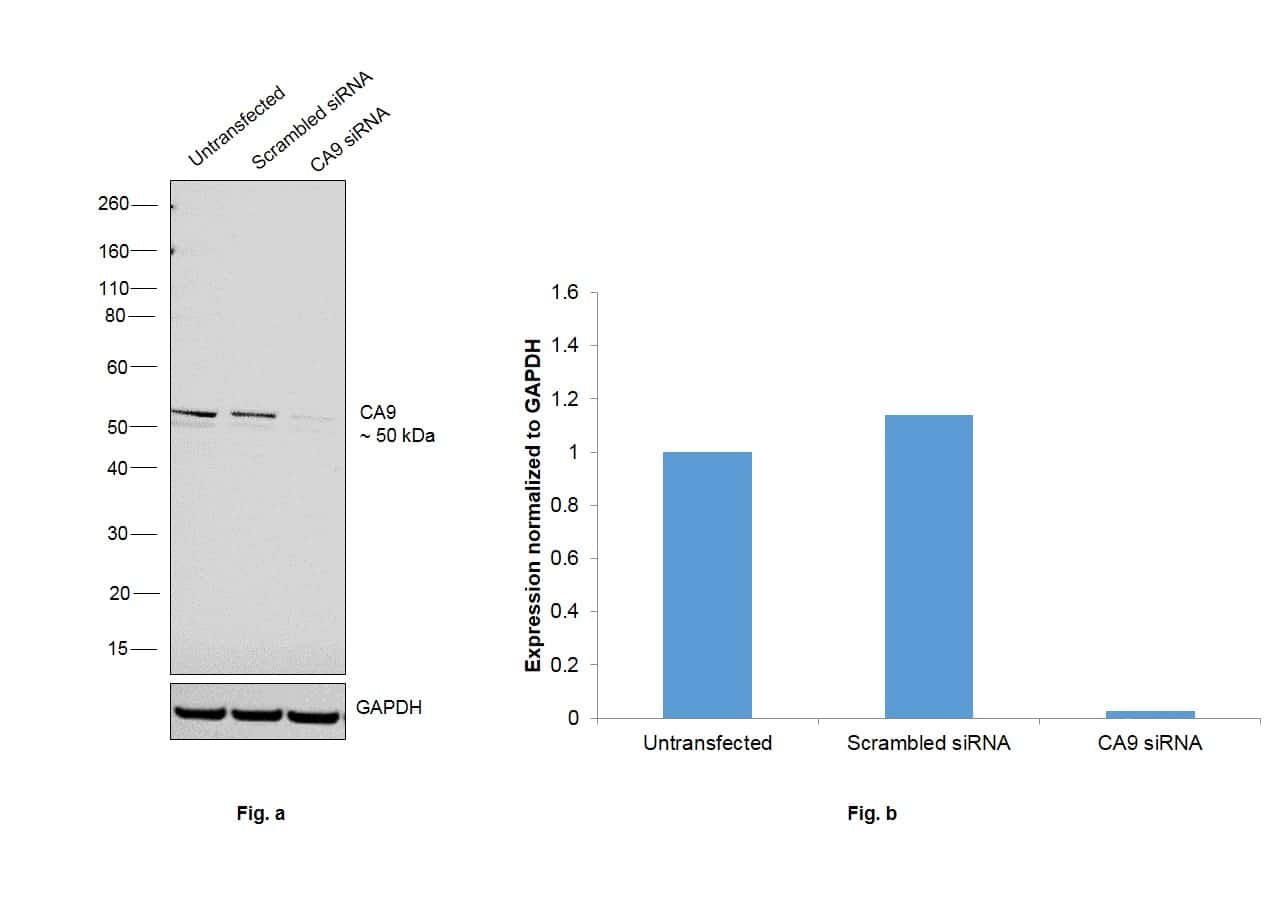 Carbonic Anhydrase IX Antibody in Knockdown