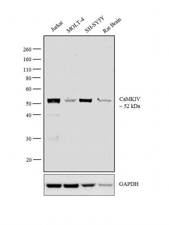 CaMKIV Antibody in Western Blot (WB)